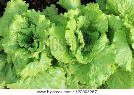 Growing lettuce on the garden bed in the greenhouse