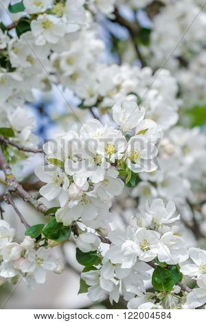 Fresh apple tree branch in spring bloom with pink-whitish soft flowers