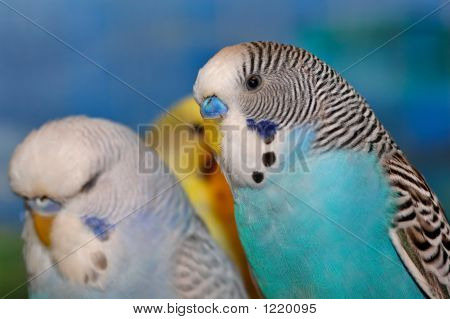 Blue White And Black Budgie