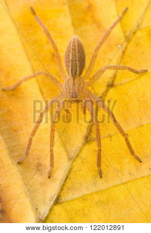 Micrommata virescens spider in nature on yellow leaf