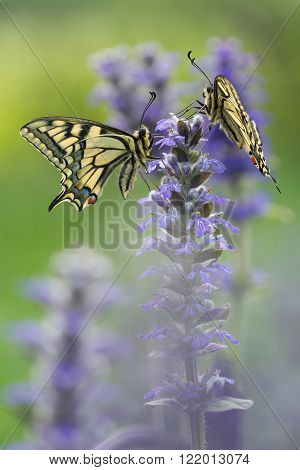 Two Machaon butterflies in nature on flower in summer