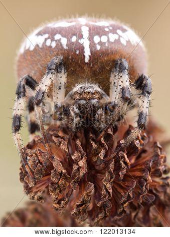 Spider Araneus on alder cones close up in nature