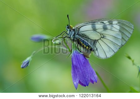 The Clouded Apollo (Parnassius mnemosyne) on flower