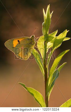 Orange Sulphur (Colias eurytheme) butterfly in sunlight