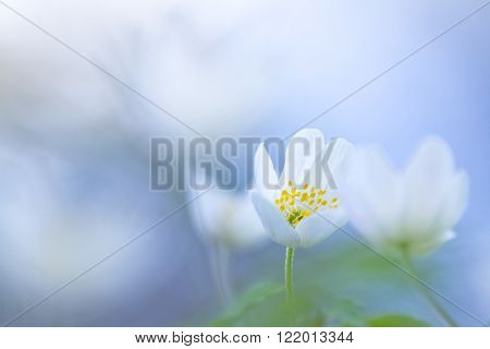 Wood anemone (Anemone nemorosa) with soft focus