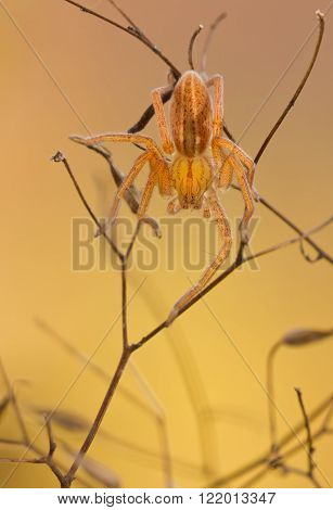 Micrommata virescens spider in nature on yellow background