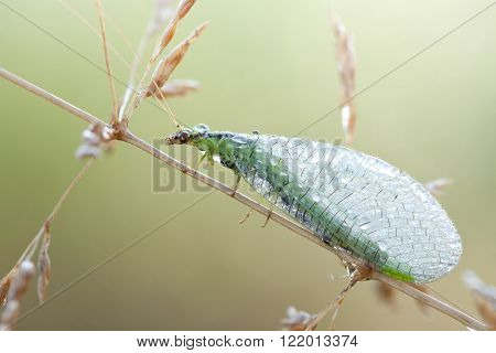 Chrysopidae-insect Green Lacewing in nature close up