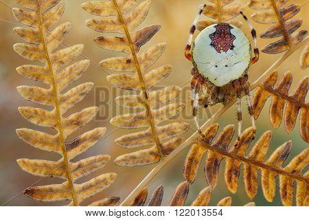 Spider Araneus marmoreus on old dry fern