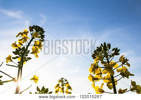 Yellow rapeseed on a blue sky background