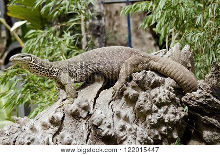 the lace lizard is standing on a tree