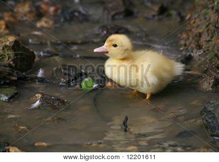 Duckling in the creek