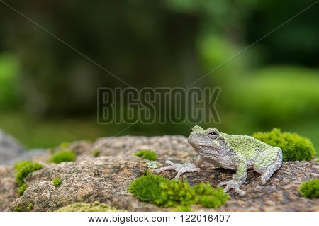 A close up of a Gray Treefrog
