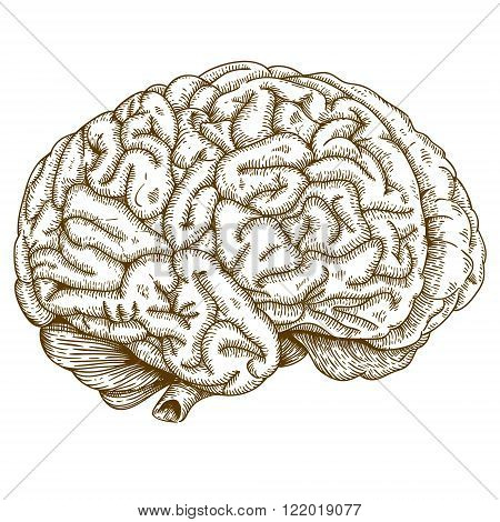 Vector engraving antique illustration of brain isolated on white background