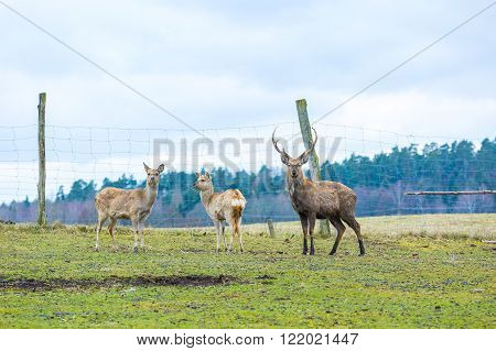 Sika deer - Dybowski deer flock photographed in animal park.