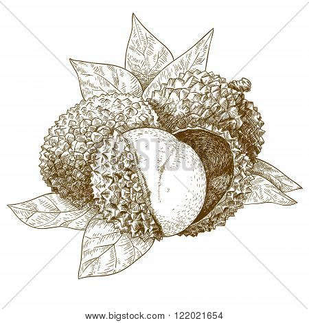 Vector engraving antique illustration of lychee isolated on white background