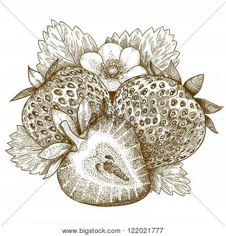 Vector engraving antique illustration of strawberry isolated on white background