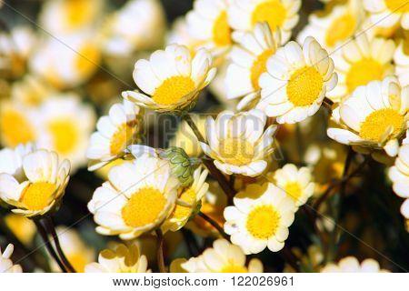 Chrysanthemums, sometimes called mums or chrysanths, are flowering plants of the genus Chrysanthemum in the family Asteraceae.