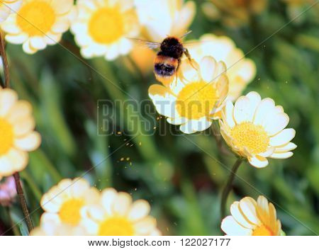 Close up image of a bumblebee collecting pollen from yellow chrysanthemum flowers.