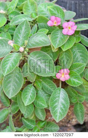 Closeup of Episcia Lil Lemon plant with pink flowers