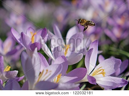 Flowers saffron and flying bee in sunny day in botanic garden in towb Brno, Czech Republic