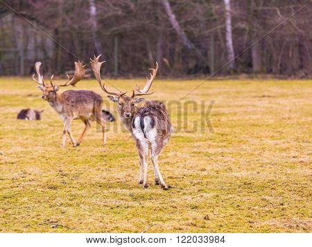 Fallow-deer photographed in animal park. Wild european deer.