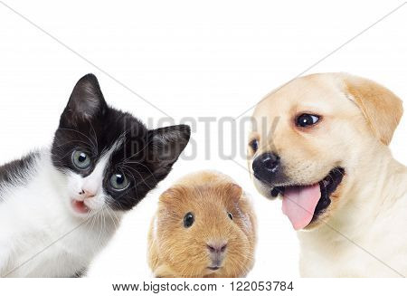 Puppy and kitten and guinea pig on a white background