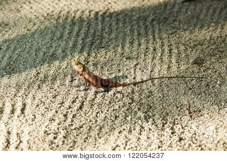 Wild lizard on sand close-up