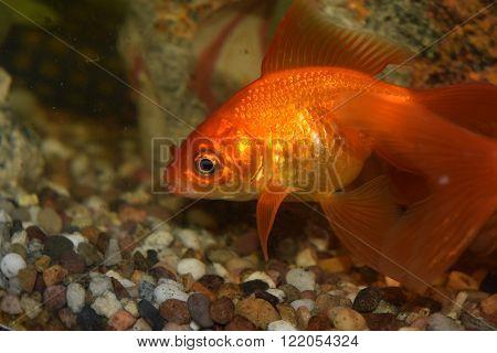 orange fantail goldfish close up in fish tank