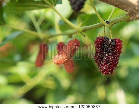 branch of red mulberry with many ripe.
