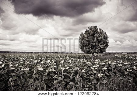 Isolated plane tree in a sunflowers field before a rainstorm - toned image
