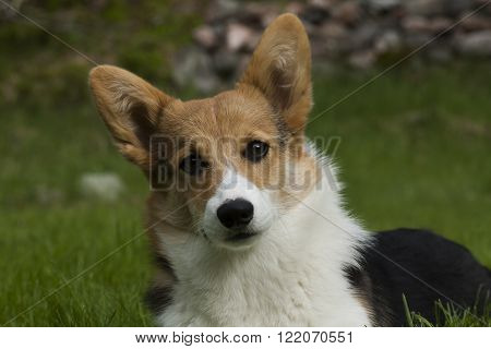 a welsh corgi staring straight into the camera