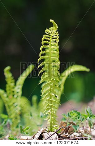 Young sprouts of a fern breaks through dry leaves ** Note: Shallow depth of field