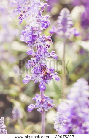 Bee On Blue Salvia Flowers In The Garden. Shallow Depth Of Field, Selective Focus. Outdoors.