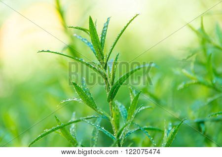 Good green tarragon in the morning dew