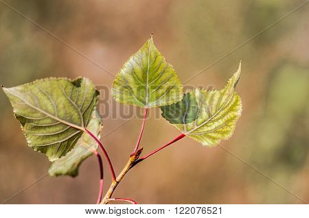Dry leaves of poplar dried on a tree branch