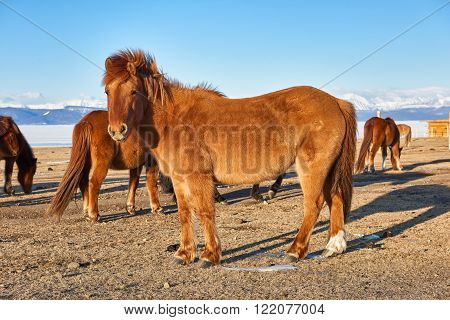 Elegant Mongolian horse in a pasture in March