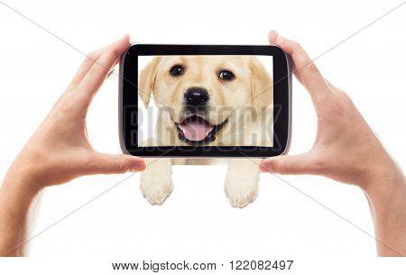 labrador puppy peeking on a white background