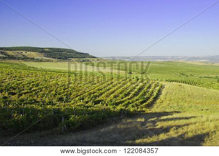 Big grapes growing on a hillside on a sunny day.