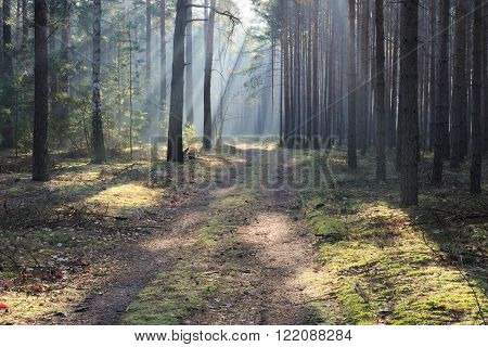 The photo shows a dirt road running through tall pine forest. It is morning. Over the road rises prominiami fog illuminated by the sun.
