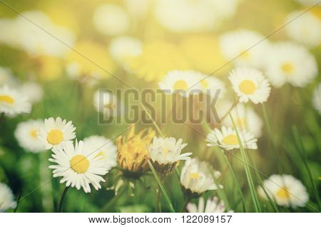 Wild camomile daisy flowers growing on green meadow, macro image with sunlight and copy space, holiday easter background