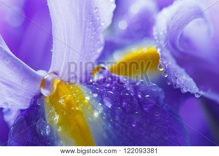Purple Iris petals with water droplets close-up