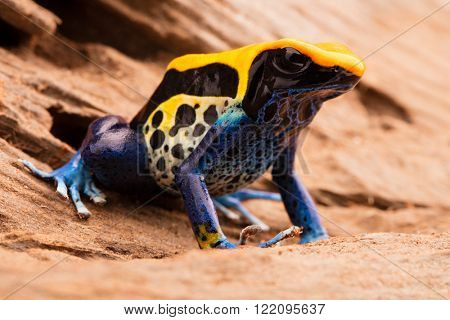 poison frog, dendrobates tinctorius a yellow blue and black poison dart frog from the Amazon rain forest in Brazil.