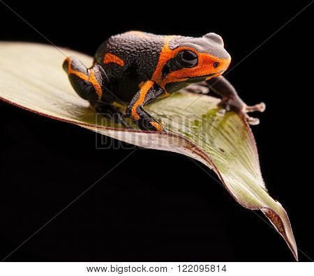 poison frog Ranitomeya imitator, a poisonous animal from the Amazon rain forest in Peru and Ecuador