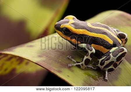 Poison Dart frog from the Amazon rain forest in Peru, Ranitomeya lamasi panguana. A beautiful tropical poisonous anial from the rainforest.