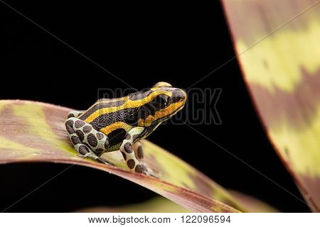 yellow striped poison dart frog, Ranitomeya lamasi panguana. A beautiful small poisonous animal from the Amazon rain forest in Peru