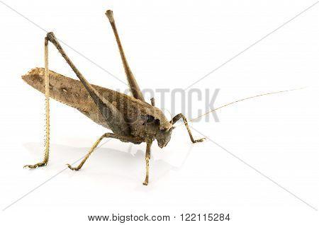 Grasshopper animal insect bug brown antenna wildlife