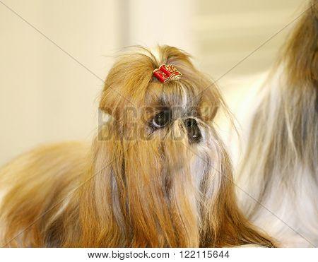Young Shih-tzu Puppy