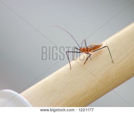 Orange And Black Assassin Bug