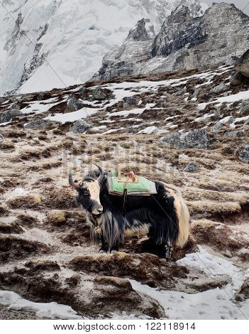 Yak in the mountains in Sagarmatha National Park Himalayas Nepal ** Note: Visible grain at 100%, best at smaller sizes