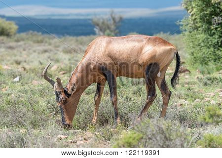 A red hartebeest with broken horn Alcelaphus buselaphus caama grazing in the Mountain Zebra National Park near Cradock in South Africa